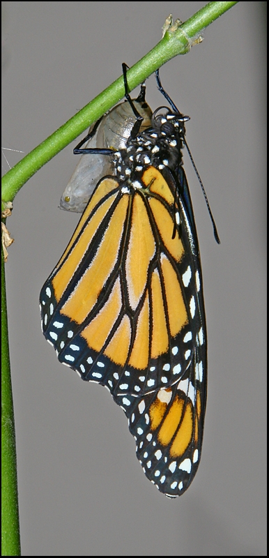 Monarch Butterfly - 25 Minutes Old
