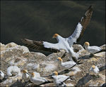Title: Gannet Coming in to Land