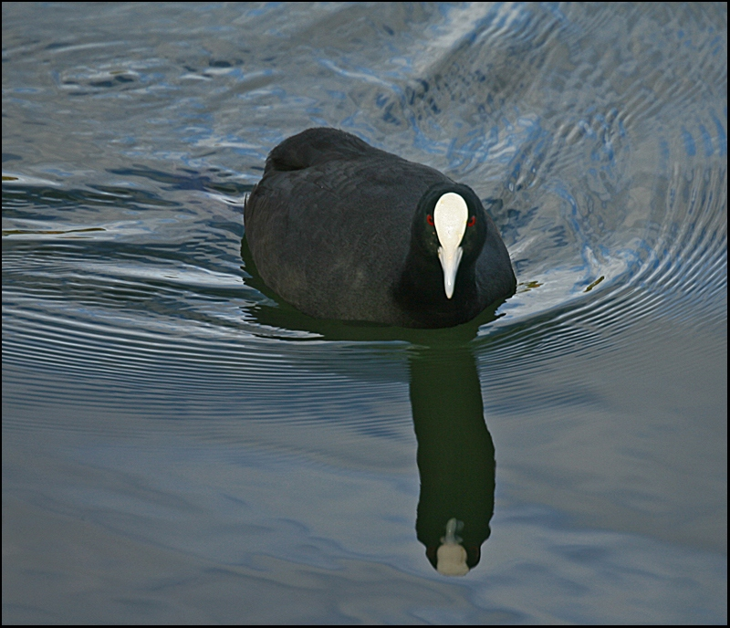 Same Coot - Different Colour