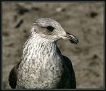 Title: Juvenile Black Backed Gull (II)Canon EOS 300D