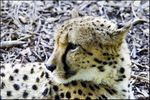 Title: Brother Cheetah