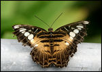 Title: Brown Clipper Butterfly