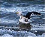 Title: Black-Backed Gull