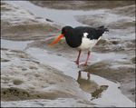 Title: The Oyster Catcher