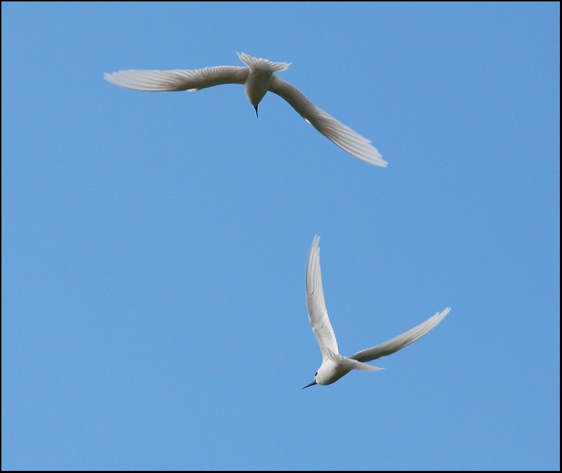 Fairy Terns Playing the Mating Game