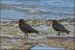Title: Variable Oyster Catchers