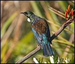 Title: Tui on a Flax Branch