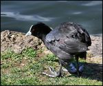 Title: Big Footed Coot