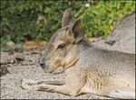 Title: Mara � Patagonian Cavy