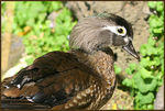 Title: Mrs Carolina Wood Duck