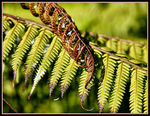 Title: Silver Fern Aging Gracefully