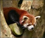 Title: Red Panda (ii) Camera: Canon EOS 300D