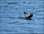 Title: Spotted Shag in Flight
