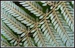 Title: The Silver Fern