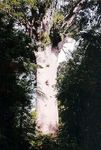 Title: Giant NZ Kauri Tree