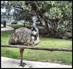 Title: Molly's Emu