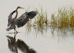 Title: The ballet of the Heron