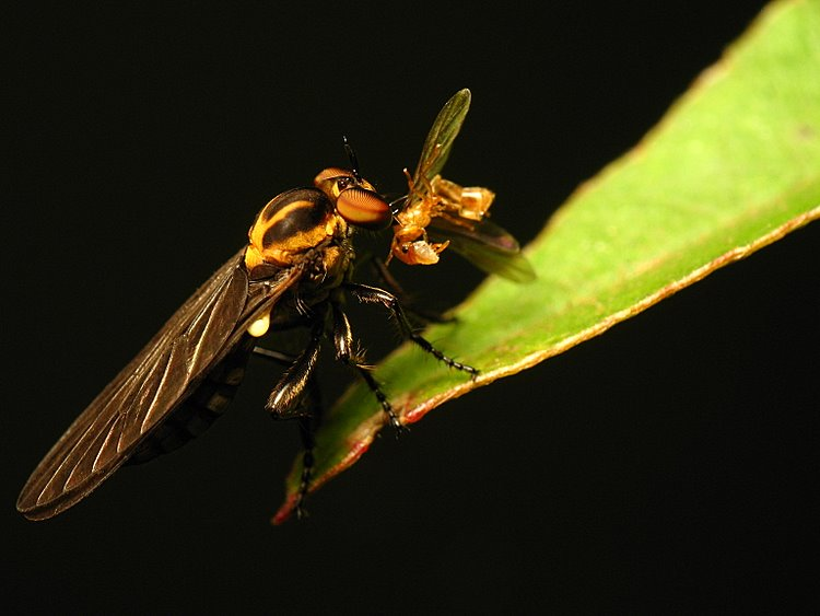 Robberfly X Ant
