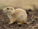 Title: Little Prairie Dog