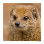 Title: Yellow Mongoose