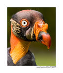 Title: American King Vulture