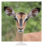 Title: Black-faced impala