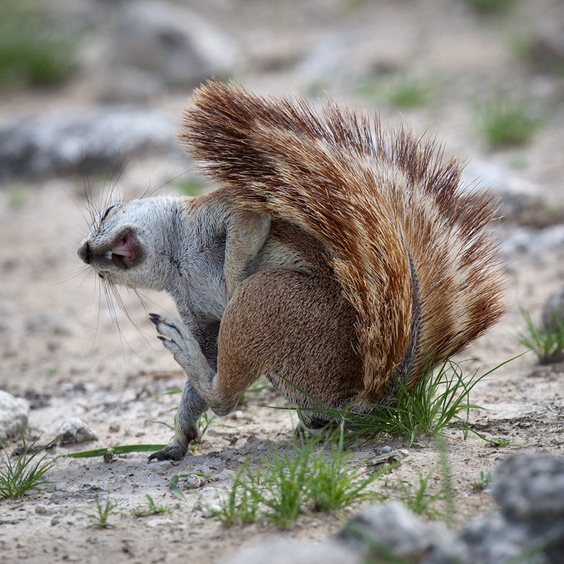 Guffawing Ground Squirrel