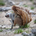 Title: Guffawing Ground Squirrel