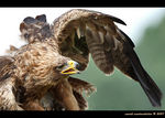 Title: Steppe Eagle
