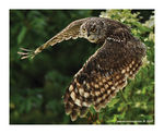 Title: Owl in flight Camera: Canon EOS 1D Mark III