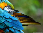 Title: Blue and Golden Macaw