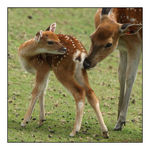 Title: Doe and fawn