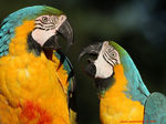 Title: Blue-and-yellow Macaw