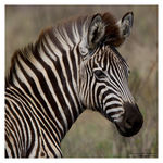 Title: Young zebra
