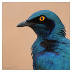 Title: Greater blue-eared  starling