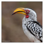 Title: Southern yellow-billed hornbill