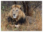 Title: African lion