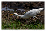Title: Cattle egretCanon EOS 1D Mark III