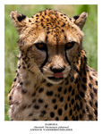 Title: CheetahCanon EOS 1D Mark III