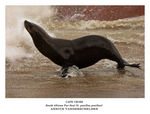 Title: South African Fur Seal