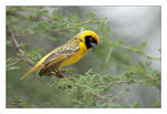 Title: African masked weaver