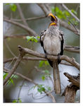 Title: Southern Yellow-billed HornbillCanon EOS 1D Mark III