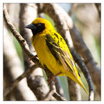 Title: Southern masked-weaver