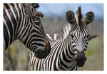 Title: Two zebras
