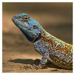 Title: Southern tree agama