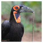 Title: Southern ground hornbill with snake