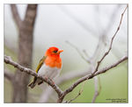 Title: Red-headed weaver
