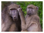 Title: Baboons grooming