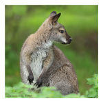 Title: Red-necked Wallaby