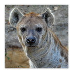 Title: Laughing Hyena